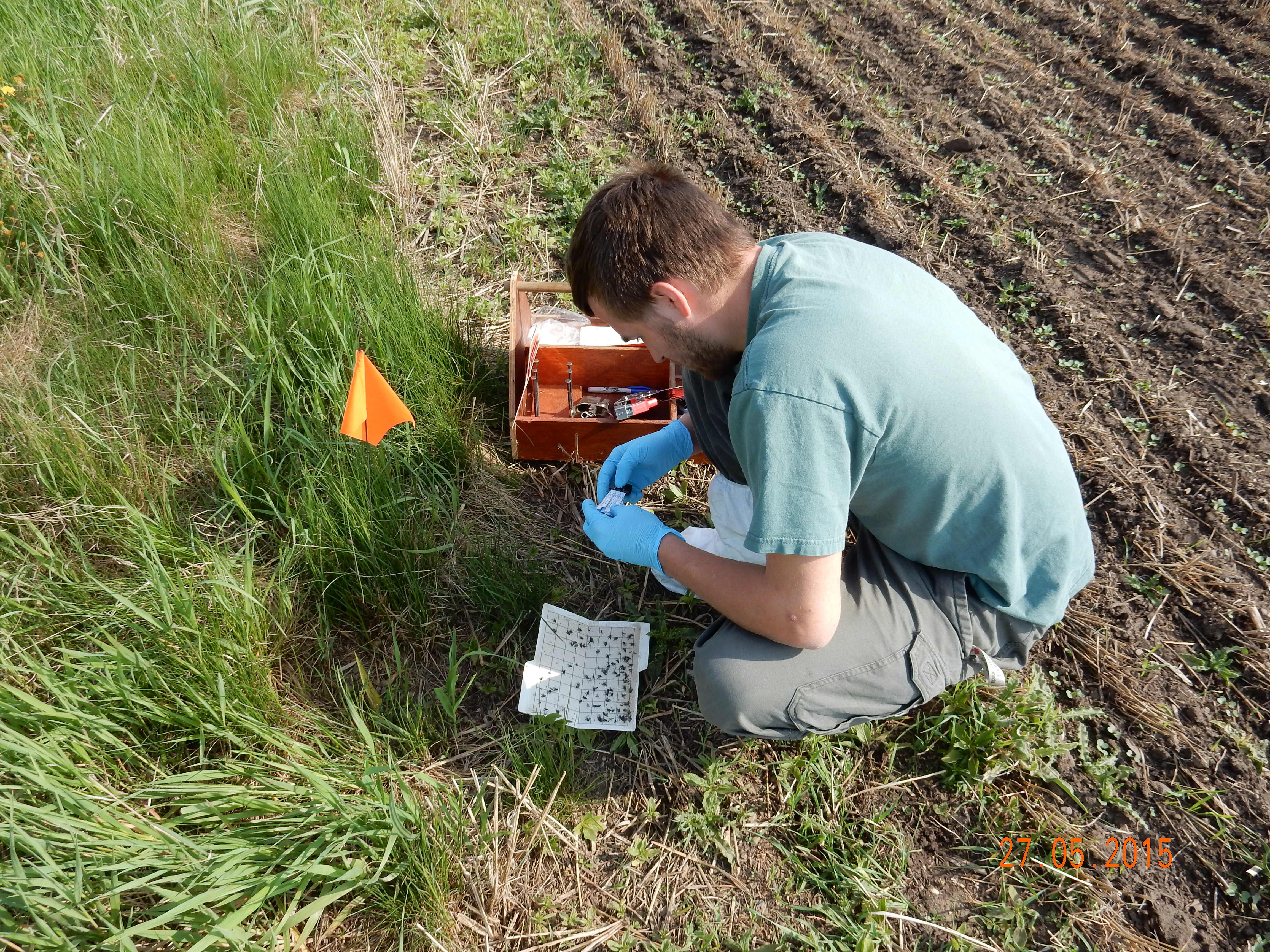 BC Pest contractor Arlan Benn checking traps May 2015